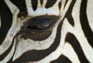 use zebra