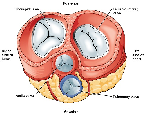 Reaching Your Diagnosis Heart Valve Conditions Aortic Stenosis