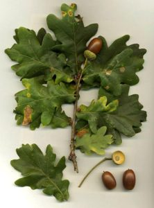 use-oak-leaves