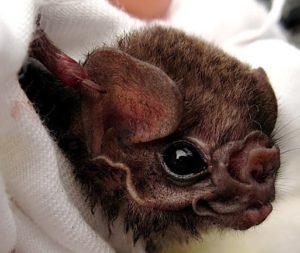 bat-mouth